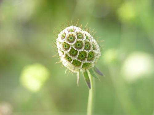 松虫草の実